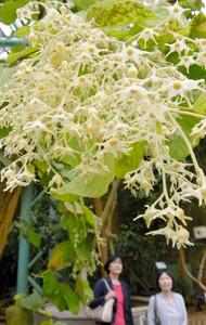 星形の花が見頃になっているサラノキ=草津市の市立水生植物公園みずの森で