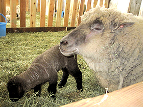 羊の赤ちゃんに会える、ひるがの高原牧歌の里=岐阜県郡上市で