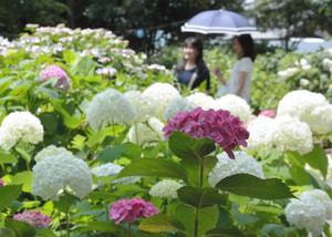 華やかな大輪を咲かせるアジサイ=愛知県一宮市三条の御裳神社で