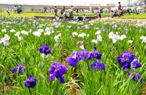 200品種5万株のハナショウブが咲く会場=富山県小矢部市西福町で