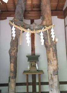 縁結びの神木として祭られるサカキの連理木=いずれもあま市の萱津神社で