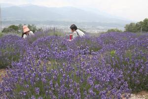 ここ数年で最高の色づきというラベンダー=長野県喬木村で