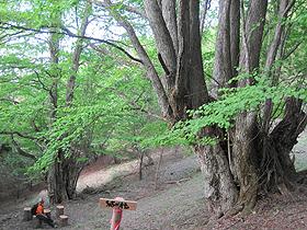 カツラの巨木が2本並んだ「結の桂」