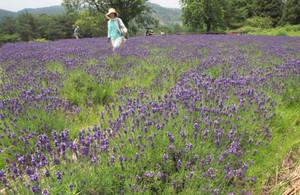 じゅうたんのように紫色の花を咲かせたラベンダー=伊賀市霧生のメナード青山リゾートで
