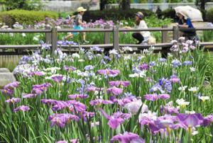 晴れ間に花を咲かすハナショウブ=安曇野市のあやめ公園で