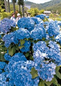 色鮮やかなアジサイが咲き誇る全長寺境内=滋賀県長浜市余呉町池原で