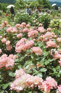 バラが彩る園内=伊那市高遠町で