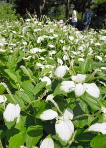 葉が白くなったハンゲショウ=草津市の市立水生植物公園みずの森で
