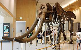 国内で発見された陸上哺乳類では最大とされるミエゾウの全身復元骨格=津市の三重県総合博物館で