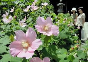 淡いピンクの花が境内を彩るフヨウ=長浜市の舎那院で