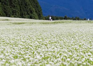 白い花が咲き誇るソバ畑=中津川市坂下の椛の湖自然公園で