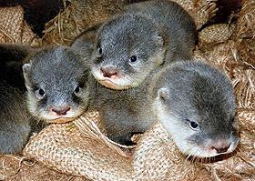 8月に生まれた3匹のコツメカワウソの赤ちゃん=東山動物園提供