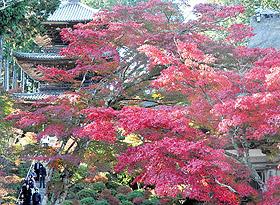 鮮やかに色づく紅葉=湖南市西寺の常楽寺で