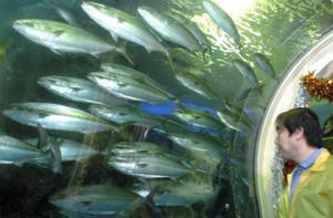 水槽内を回遊するブリの群れ=魚津水族館で