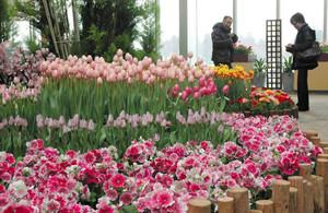 ピンクを主体に4000株の花が咲き誇る展示=砺波市中村で