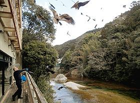 湯谷温泉の旅館「泉山閤」では毎朝、トビの餌づけをしている=愛知県新城市で