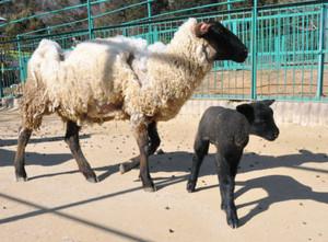 母親のまちコ(左)と一緒に走り回るヒツジの赤ちゃん=多気町五桂の五桂池ふるさと村花と動物ふれあい広場で
