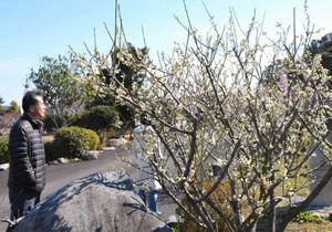 満開の梅の花を楽しむ人たち