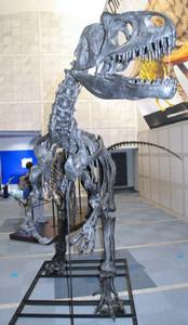 アロサウルスの複製全身骨格=名古屋市港区の名古屋港水族館で