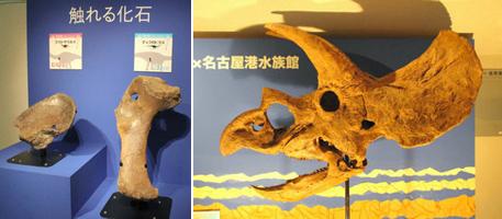 (写真左)来場者がじかに手で触れるディプロドクス(右)とアパトサウルスの骨の化石(写真右)トリケラトプスの複製頭骨=いずれも名古屋市港区の名古屋港水族館で
