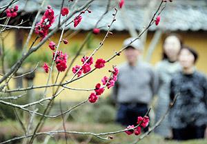 かわいらしい花を付けた紅梅=甲良町の西明寺庭園の前庭で