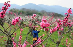 養老山系を背に咲き誇る紅白の梅=海津市南濃町津屋で