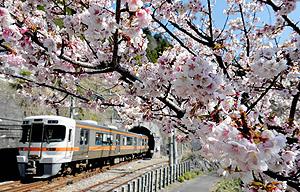 淡いピンク色の花を咲かせ見頃を迎えたカンザクラ=天龍村のJR伊那小沢駅で