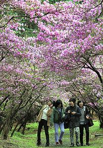 見頃を迎え、紫のトンネルになった境内のコバノミツバツツジ=鈴鹿市の伊奈富神社で