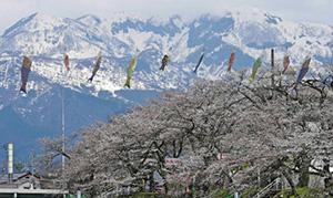 見頃を迎えつつある桜と残雪をバックに悠々と泳ぐこいのぼり=勝山市下高島の弁天緑地で
