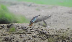 青と赤に色づいた姿で、砂の中の巣に空気を送るイトヨの雄=大野市糸魚町の本願清水イトヨの里で