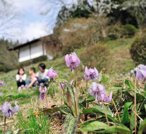 斜面いっぱいに咲いたカタクリの花=下呂市宮地の宮地神社公園で