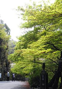 もえぎ色の若葉が見事な参道のモミジ=犬山市継鹿尾の寂光院で