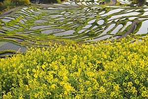 丸山千枚田で満開となっている菜の花=熊野市紀和町で