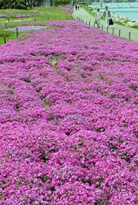 湖岸を鮮やかなピンクに染めるシバザクラ=大津市におの浜のなぎさ公園で