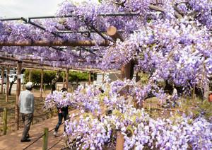 一足早く満開となった早咲きの「紫カピタン」=江南市前飛保町寺町の曼陀羅寺公園で