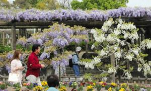 早咲きのフジの花を楽しむ人たち=津島市の天王川公園で
