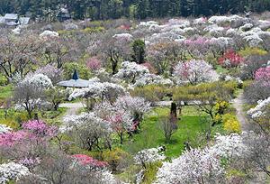 園内を色鮮やかに染めるシダレモモの花=箕輪町の信州伊那梅苑で