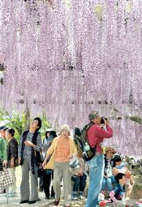 見頃を迎えたフジの花を楽しむ来場者たち=津島市の天王川公園で