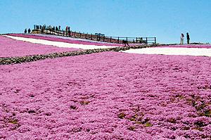 「芝桜まつり」の開幕を待つ茶臼山高原=豊根村坂宇場で