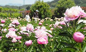 大きな花を咲かせ、来場者を楽しませているシャクヤク=豊丘村のしゃくやく園で