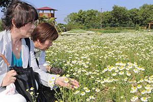 一面に広がるジャーマンカモミール=伊賀市、津市境のメナード青山リゾートで