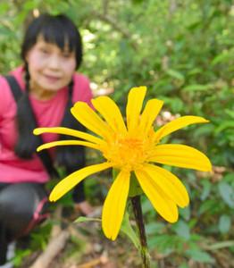 大きな花を咲かせたハンカイソウ=紀北町紀伊長島区三浦で
