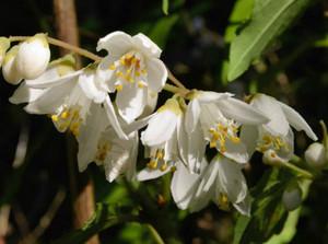 花の白色が美しいウノハナ(ウツギ)=紀北町紀伊長島区三浦で