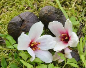 散策路に落ちたアブラギリの花と実=紀北町紀伊長島区3浦で
