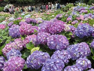 見頃を迎え、色とりどりに咲き誇るアジサイ=蒲郡市の形原温泉あじさいの里で