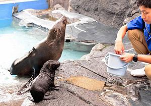 一般公開が始まったミナミアフリカオットセイの赤ちゃん(手前)と母親の「ラン」=鳥羽市の鳥羽水族館で