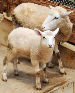 母親に寄り添う子羊=土岐市肥田町の陶史の森で