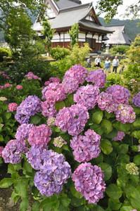 境内で鮮やかに咲くアジサイ=長浜市余呉町の全長寺で