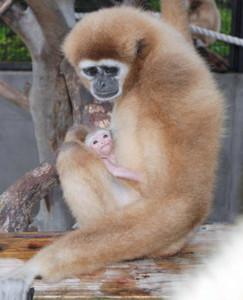 母親のサクラに抱えられる赤ちゃん=能美市のいしかわ動物園で(同園提供)