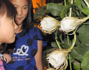 純白の花が咲き始めたゲッカビジン=県中央植物園で